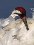 Whooping Crane Preens Feathers in Early Morning Light  Lake Kissimmee  Florida  USA