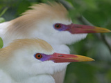 Portrait of Two Cattle Egrets in Breeding Plumage at St Augustine Alligator Farm  St Augustine
