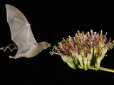 Lesser Long-Nosed Bat in Flight Feeding on Agave Blossom  Tuscon  Arizona  USA