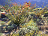 Blooming Ocotillo Cactus and Brittlebush Desert Wildflowers  Anza-Borrego Desert State Park