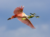 Roseate Spoonbill in Flight Carrying Nesting Material  Tampa Bay  Florida  USA