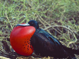 Male Frigatebird Showing Inflated Pouch During Breeding Season  Galapagos Islands  Ecuador
