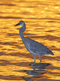 Great Blue Heron in Golden Water at Sunset  Fort De Soto Park  St Petersburg  Florida  USA