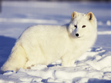 Arctic Fox in Winter Coat  Alaska  USA