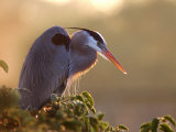 Great Blue Heron Perches on a Tree at Sunrise in the Wetlands  Wakodahatchee  Florida  USA