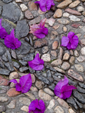 Fallen Bougainvillea Petals on Cobblestones  San Miguel De Allende  Mexico