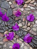Fallen Bougainvillea Petals on Cobblestones  San Miguel De Allende  Mexico