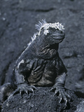 Detail of Marine Iguana on Volcanic Rock  Galapagos Islands  Ecuador