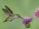 Female Anna's Hummingbird at Thistle  Paradise  Chiricahua Mountains  Arizona  USA