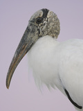 Pre-Dawn Close-up of Wood Stork  Fort De Soto Park  Florida  USA
