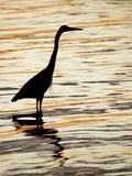 Silhouette of Great Blue Heron in Water at Sunset  Sanibel Fishing Pier  Sanibel  Florida  USA