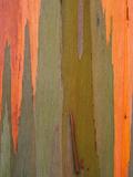 Detail of Eucalyptus Tree Bark  Kauai  Hawaii  USA
