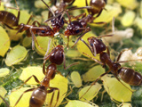 Close-up of Ants Harvesting Honeydew from Aphids  Lakeside  California  USA