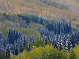 Snow on Aspen Trees in Fall  Red Mountain Pass  Ouray  Rocky Mountains  Colorado  USA