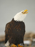 Bald Eagle Sitting on Log Calling  Homer  Alaska  USA