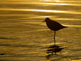 Silhouette of Black-Bellied Plover on One Leg in Beach Water  La Jolla Shores  California  USA