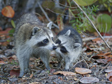 Young Raccoon Kissing Adult  Ding Darling National Wildlife Refuge  Sanibel  Florida  USA