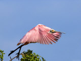 Roseate Spoonbill Takes Flight from Tree  Tampa Bay  Florida  USA