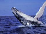 Humpback Whale Breaching  Dominican Republic  Caribbean