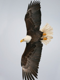 Bald Eagle in Flight with Wingspread  Homer  Alaska  USA