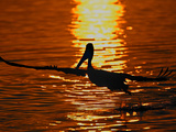 Silhouette of Brown Pelican Taking Flight  Bolsa Chica Lagoon  California  USA