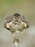 Close-up of Burrowing Owl Shaking Its Feathers on Fence Post  Cape Coral  Florida  USA