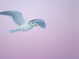 Glaucous-Winged Gull Flying Against Pre-Dawn Sky  Homer  Alaska  USA