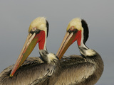 Two Brown Pelicans Preening in Rhythm  La Jolla  California  USA