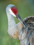 Close-up of Sandhill Crane Preening Its Feathers  Indian Lake Estates  Florida  USA