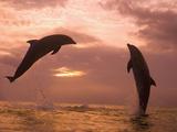 Bottlenose Dolphins  Caribbean Sea Near Roatan  Honduras