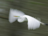 Abstract of Great Egret in Flight  Lake Martin  Louisiana  USA