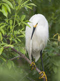 Snowy Egret Perches on Tree Limb Above Nest  St Augustine  Florida  USA