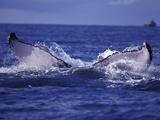 Whale Tail  Alaska  USA
