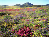 Wildflowers Near Lake Cuyamaca and Stonewall Peak  Cuyamaca Rancho State Park  California  USA