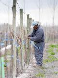 Vineyard Worker  Bodega Nqn Winery  Vinedos De La Patagonia  Neuquen  Patagonia  Argentina