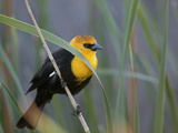 Yellow-Headed Blackbird Male Clings to Stalk Behind Reed  Salton Sea National Wildlife Refuge