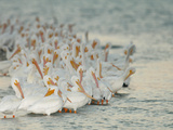 Flock of White Pelicans on Sandbar  Placida  Florida  USA