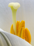 Lily Stamen Close-up