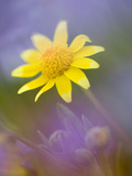 Yellow Wildflower Among Purple Flowers
