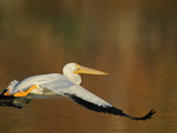 White Pelican Flying Over Lake  Santee Lakes Park  California  USA
