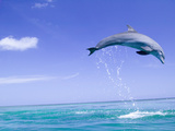 Bottlenose Dolphins  Caribbean Sea