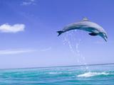 Bottlenose Dolphins  Caribbean Sea