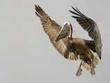 Brown Pelican Flying with Nest-Building Material  Little Bird Key  Tierra Verde  Florida  USA