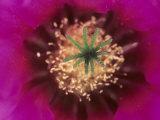 Pink Hedgehog Cactus Blossom  Arizona-Sonora Desert Museum  Tucson  Arizona  USA