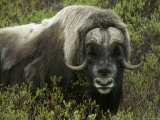 Close-up of Musk Ox in Bushes  Nome  Alaska  USA