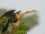 Anhinga Female at the Venice Rookery  Venice  Florida  USA
