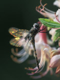 Close-up of Dragonfly Backlit on Azalea  Georgia  USA