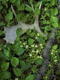 Moose Antler in Bunchberry Flowers at Springtime  Isle Royale National Park  Michigan  USA