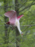 Roseate Spoonbill Stretches to Break off Branch for Nesting Material  Lake Martin  Louisiana  USA