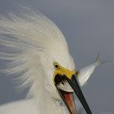 Head Close-up of Snowy Egret Swallowing Baitfish  Sanibel  Florida  USA